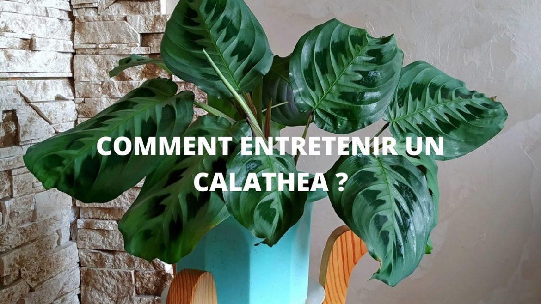 Tout sur le calathea