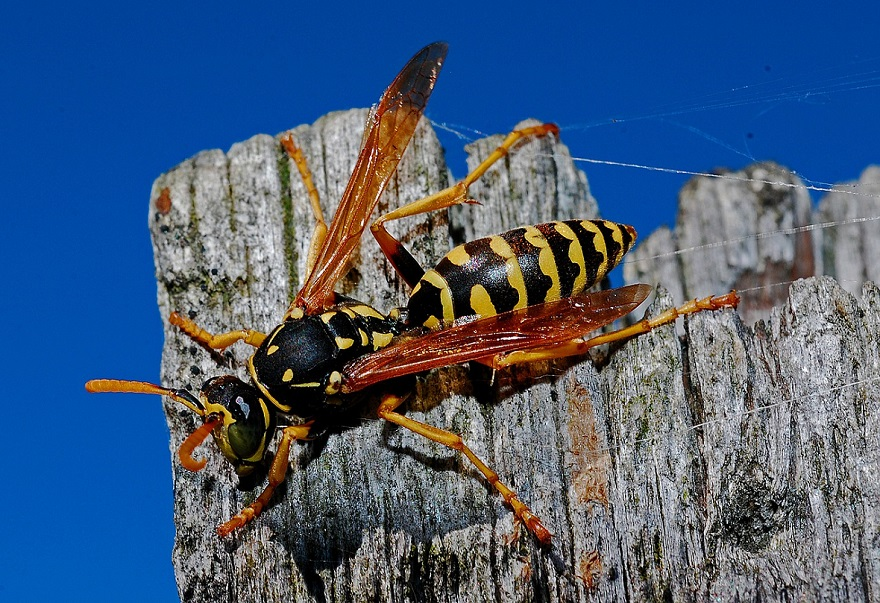 insecte guêpes