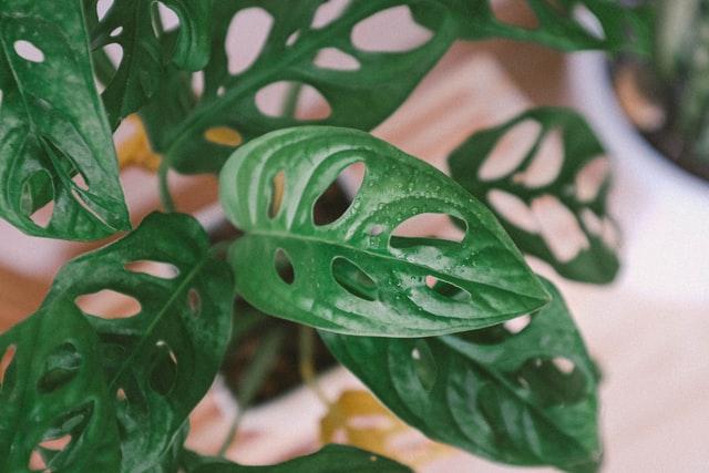 plante pour maison Monstrera